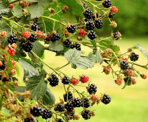 Blackberry vagyis szeder